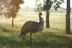 emu in the hills