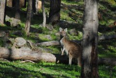 roo's in the Perth Hills