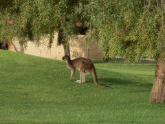 Mrs Roo , taken on someones lawn in  The Vines .